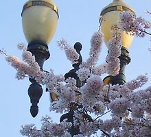 Street Lamps and Cherry Blossoms by photroen