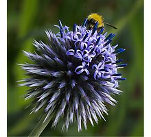 Globe Thistle and the Bee Photographic Print