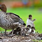 the family of wood duck by houenying