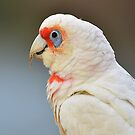 the corella by houenying