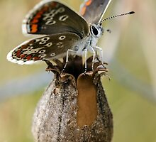 Brown Argus Butterfly by Paul Spear