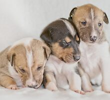 Three Collie Puppies by MartinCapek