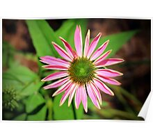 Pink And Green Zinnia Poster