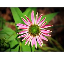 Pink And Green Zinnia Photographic Print