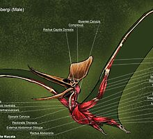 Male Pteranodon Sternbergi Muscles by Thedragonofdoom