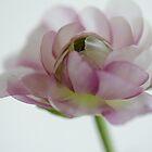Beauty Ranunculus by Nicole  Markmann Nelson