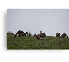 Kangaroos above Hurstbridge road Victoria Australia 20160618 7155 Canvas Print