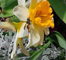 A Jonquil Hosts a Pollinator by photroen