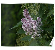 Purple Lilac Left Poster