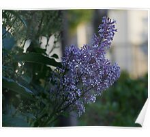 Purple Lilac Right Poster