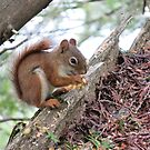 Red Squirrel in Algonquin Park by caybeach