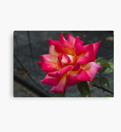 roses in the garden Canvas Print