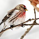 Winter Redpoll by Christina Rollo