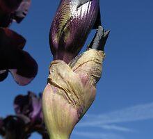 Emerging Black Knight Bearded Iris by photroen