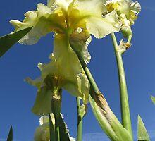 Beautiful Pastel Yellow Bearded Iris's by photroen