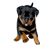 Cute Female Rottweiler Puppy Running Photographic Print