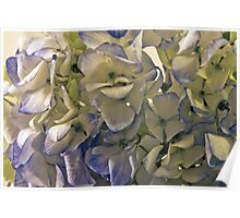 Blue And White Hydrangea Petals  Poster