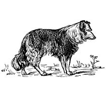 Vintage Collie - Woodcut style by cartoon