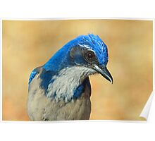 Profile of a Western Scrub Jay Poster