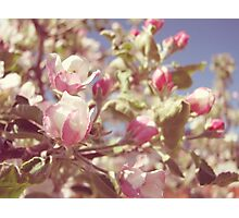 Spring Apple Blossoms Photographic Print