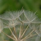 Dandelion seed head by Heather Thorsen