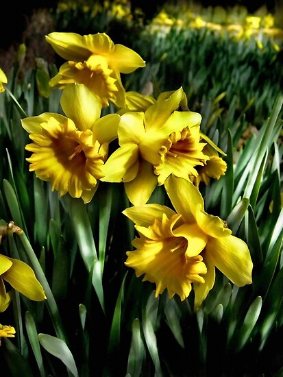 daffodils by scottimages
