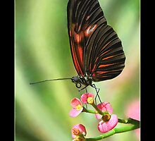 A Butterfly by Lisa Torma