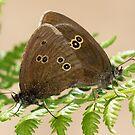 Mating Ringlet Butterflies by Neil Bygrave (NATURELENS)