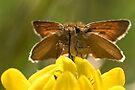 Small Skipper Butterfly by Neil Bygrave (NATURELENS)