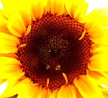 Sunflower with dew drops by ©The Creative  Minds