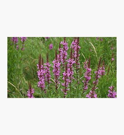 flower purple crybaby grass Photographic Print