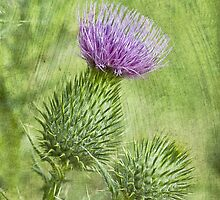 Thistle by scottimages