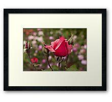 roses in the garden Framed Print