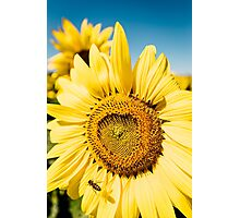 Bumble Bee & Sunflower Photographic Print