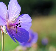 Scottish wild flower by Miriam Gordon
