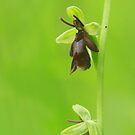 The fascinating fly orchid by miradorpictures
