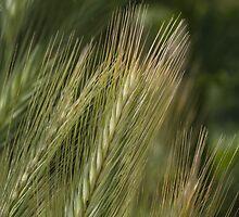 ear in the meadow by spetenfia