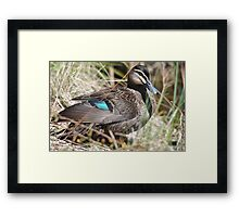Pacific Black Duck Framed Print
