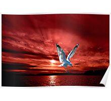 Silver Gull in Orange Red Ocean Sunrise. Poster
