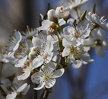 trees with white flowers in spring by spetenfia