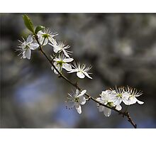 white flowers in spring Photographic Print