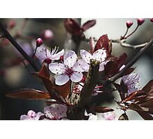 peach flowers Photographic Print