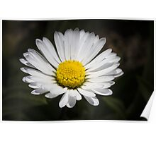 daisy in spring Poster