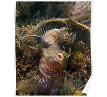 A Seaweed Blenny Fight Poster