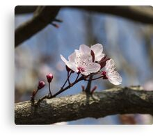 peach blossom in spring Canvas Print