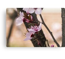 peach blossom in spring Metal Print