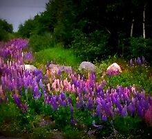 Lupins Adrift! by Trudy Veitch