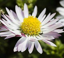 daisy in spring by spetenfia