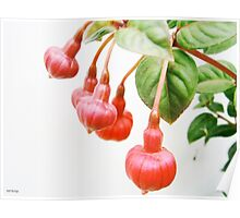 Hanging with Friends....Fuchsia triphylla Poster