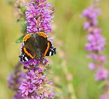Red Admiral Butterfly by M.S. Photography/Art